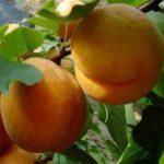 drevo_persik